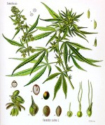 Effects of cannabis on pulmonary structure, function and symptoms